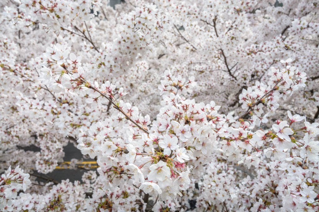 Cherry blossoms filling the picture in full white bloom with pink and yellow centers branching out in different directions above a road.