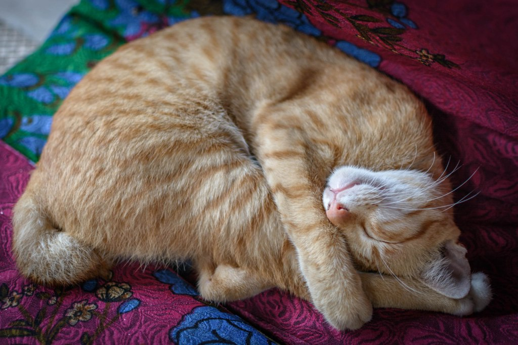 Ginger cat napping.